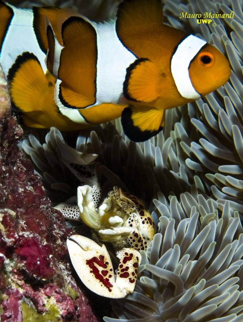 le poisson clown, un classique de la plongée