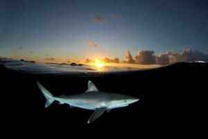 Un requin au coucher de soleil