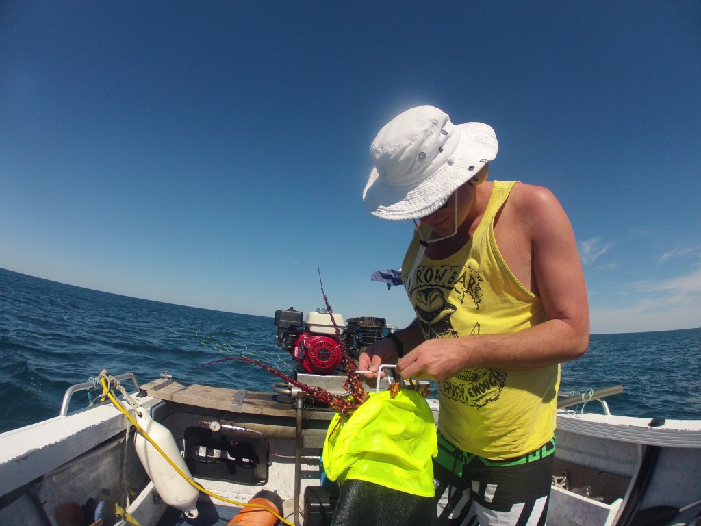 Dans le Victoria, la pêche à la langouste est autorisé dans la limite de deux par plongeur par semaine