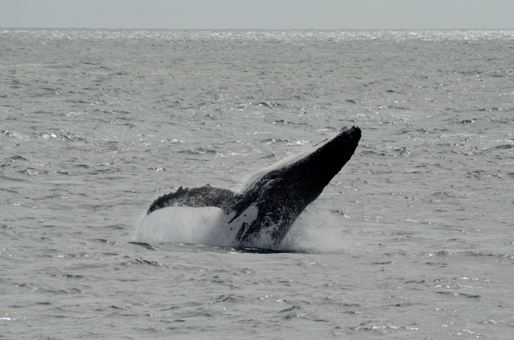 c'est un comportement assez commun des baleines à bosse que de sauter hors de l'eau. C'est principalement pour retirer les parasites...