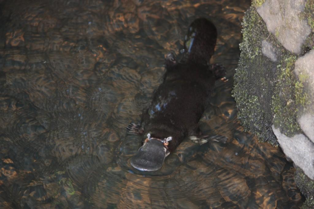 Ca n'a rien à voir avec la plongée, mais j'étais super fier d'avoir trouvé un ornithorynque dans la nature!