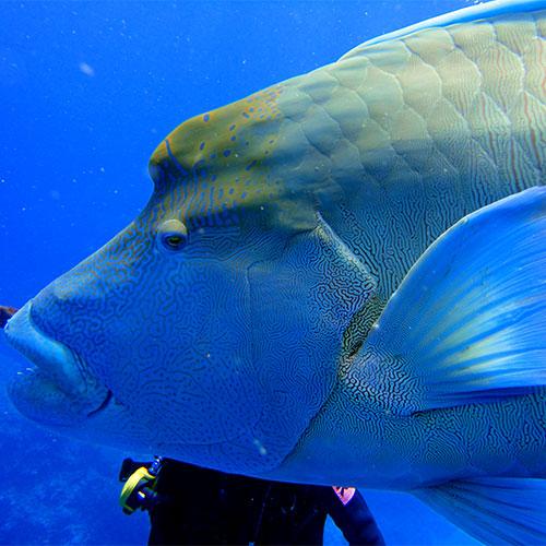 Lui c'est Walli, un Napoleon Maori Wrass, roi de Norman Reef et familier comme un labrador avec les plongeurs
